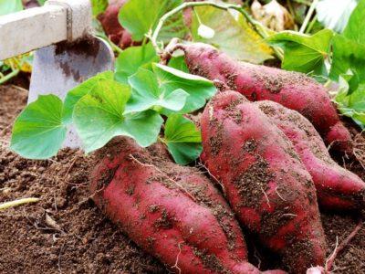 イベント⭐️家の庭にも芋を植える。